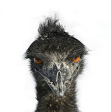 Emu Eyes. The eyes of a sinister Emu bird are fixed upon you Stock Image