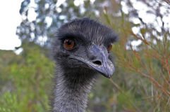 Emu Face. Close Up of an Emu's Face and Neck royalty free stock image