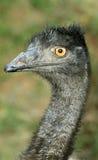 Emu face. Closeup of emu face in wild Stock Image