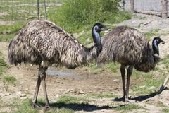 Emu farm. Couple of emu walking around in a farm Stock Photo