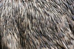 Emu feathers Royalty Free Stock Photography