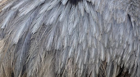 Emu Feathers Royalty Free Stock Image