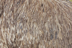 Emu feathers Stock Photography