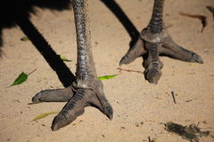 Emu feet Royalty Free Stock Photo