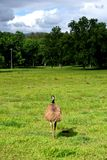 Emu in A field, Australia. stock image