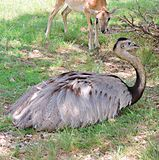 Emu. This Emu finally wears himself out and lays down beneath a shade tree royalty free stock photo