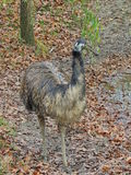 Emu. Flightless bird Stock Photo