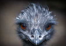 The Emu... Royalty Free Stock Photos