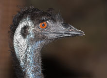 Emu flightless bird Stock Photo