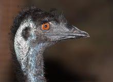 Emu flightless bird. An australian native, emu, a large flightless bird Stock Photo