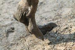 Emu Foot Royalty Free Stock Photos