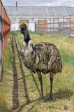 Emu funny yawning Stock Photography