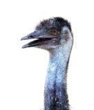 Emu głowa odizolowywająca Fotografia Royalty Free