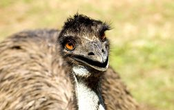 Emu in the Grass Royalty Free Stock Photography