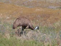 Emu between grass Royalty Free Stock Photography