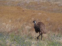 Emu on the grass Stock Photography
