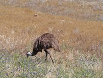 Emu on the grass Stock Photos