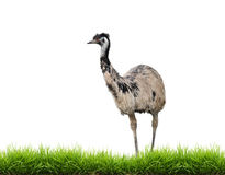 Emu with green grass isolated Stock Image