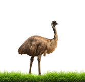 Emu with green grass isolated Royalty Free Stock Image
