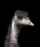 Emu head against a black background Stock Photography