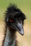 Emu Head, Australia stock photography