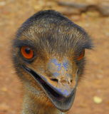 Head of emu with beak open Royalty Free Stock Photography