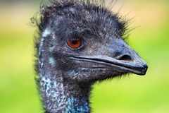 Emu Head Close Up Dromaius Novahollandiae Royalty Free Stock Photos