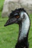 Emu head close up Stock Image