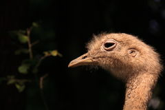 Emu head close up in the sunlight Royalty Free Stock Photo