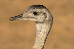 Emu Head Closeup Royalty Free Stock Photos