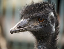Emu head Stock Images