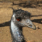 Emu Head Royalty Free Stock Photography