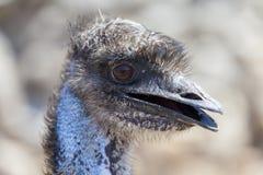 Emu head Stock Image