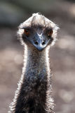 Emu Head and Neck in the Sunlight Stock Images