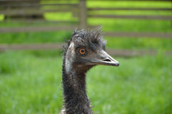 Emu Head Shot Stock Images