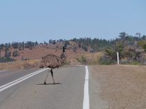 Emu on the highway Stock Images