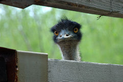 Emu: i am not ET. Ostritch like bird emu peeping out of the fence Stock Photography