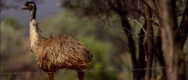 Emu im australischen Hinterland stock video