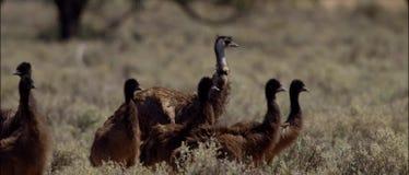 Emu im australischen Hinterland stock video footage