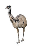 Emu isolated on white background stock photography