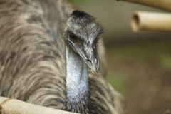 Emu. In khao kheaw open zoo thailand Royalty Free Stock Photo