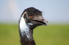 Emu-Kopf-Lächeln Lizenzfreies Stockfoto