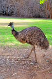 Emu Stock Photos