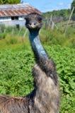 The emu Royalty Free Stock Image