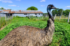 The emu Royalty Free Stock Photography