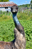 The emu. Is the largest bird native to Australia and the only extant member of the genus Dromaius. It is the second-largest extant bird in the world by height Royalty Free Stock Photography