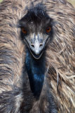 The emu Stock Image