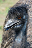 The emu Royalty Free Stock Image