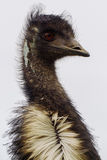 Emu. Is the Largest bird native to Australia and most common over most of mainland Australia Stock Photography