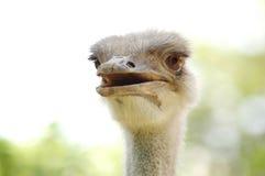 Emu libre Photo libre de droits